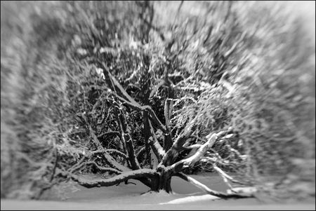 Snow Tree B&W